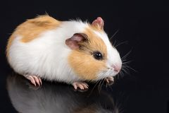 Cute little baby pet white brown guinea pig  on the black background with reflections.  Royalty Free Stock Image