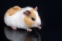 Cute little baby pet white brown guinea pig  on the black background with reflections.  Royalty Free Stock Photo