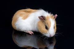 Cute little baby pet white brown guinea pig  on the black background with reflections.  Royalty Free Stock Images
