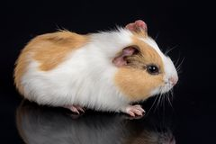 Cute little baby pet white brown guinea pig  on the black background with reflections.  Stock Images