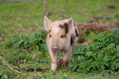 Cute Little baby piglet making a run for it Royalty Free Stock Photos