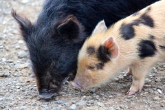 Cute Little baby piglets stock images