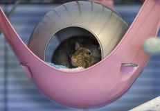 Cute little baby rat sleeping in his bed. Cute little 4 month old black baby rat sleeping in his bed Royalty Free Stock Photography