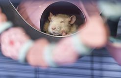Cute little baby rat sleeping in his bed. Cute little 4 month old white baby rat sleeping in his bed Royalty Free Stock Photo
