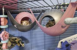 Cute little baby rats sleeping in their beds. Cute little 4 month old black and white baby rats sleeping in their beds in a cage Stock Photo