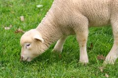 Cute little baby sheep Stock Photos