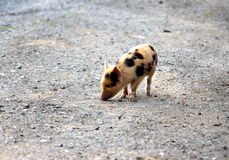 Cute Little baby spotty piglet Royalty Free Stock Photos