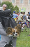 Cute Little Backpack Dog Royalty Free Stock Photos