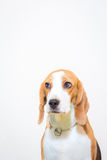Cute Little beagle dog studio portrait - white background Royalty Free Stock Photos