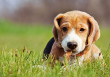 Cute little beagle puppy playing in grass. Cute little beagle puppy playing in green grass stock images