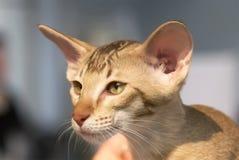 Portrait of a kitten  Devon Rex. Cute little beige Devon Rex kitten with green eyes Stock Photo