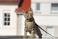 Cute little bengal cat Royalty Free Stock Image
