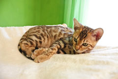 Cute little bengal cat Stock Images