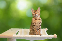 Cute little bengal cat Stock Photo