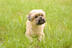 Cute little Bichon Frise in the green Stock Image