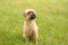 Cute little Bichon Frise in the green Royalty Free Stock Image