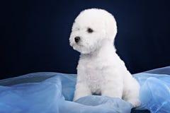 Cute little Bichon puppy Stock Photo