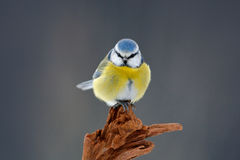 Cute little bird in the nature. Blue Tit, cute blue and yellow songbird in winter scene, snow flake and nice snow flake and nice l. Cute little bird in the Royalty Free Stock Photography