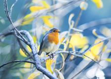 cute little bird Robin with orange breast sitting on the branches in the autumn Park stock photography