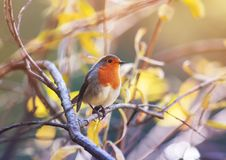 cute little bird Robin with orange breast sitting on the branches in the autumn clear Sunny Park royalty free stock photography
