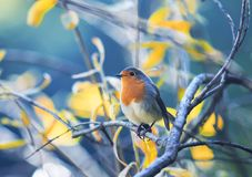 cute little bird Robin with orange breast sitting on the branches in the autumn Sunny Park royalty free stock images
