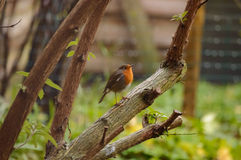 Cute little bird sitting on tree branch. Beautiful single little orange and gray feathered bird sitting on thick part of pruned tree branch outdoors Royalty Free Stock Photos