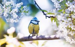 Cute little bird tit sitting on a branch of cherries with delica stock photo