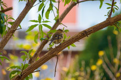 Cute little bird waiting on tree branch. Cute single little gray and brown feathered bird waiting in middle of tree branch outdoors Royalty Free Stock Photography