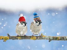 cute little birds in funny knit hats in the winter sitting o royalty free stock photo