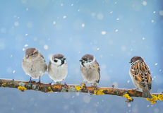 Cute little birds are sitting in the Park on a branch during a s. Little birds are sitting in the Park on a branch during a spring snowfall Stock Image
