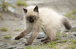 Cute little birman kitten Stock Photography