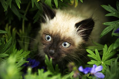 Cute little birman kitten Stock Photos