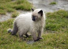Cute little birman kitten after the rain Stock Photos