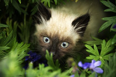 Cute little birman kitten after the rain Stock Photo