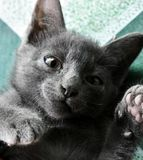 Cute little black cat plays on a floor. royalty free stock photography