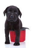 Cute little black labrador royalty free stock images