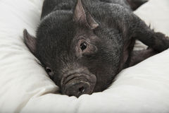A cute little black pig Stock Photos