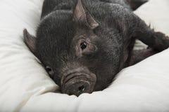 A cute little black pig Stock Photos