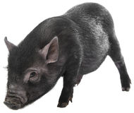 A cute little black pig Royalty Free Stock Images