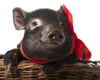 A cute little black pig Stock Image
