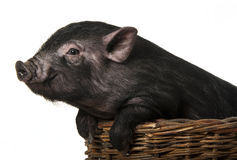 A cute little black pig  in a basket Stock Image