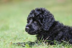 Cute Little Black Puppy Lying in the Grass Stock Photography