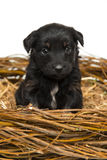 Cute little black puppy in straw nest Royalty Free Stock Image