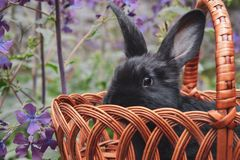 Cute little black rabbit sitting in a basket. royalty free stock photos