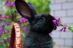 Cute little black rabbit sitting in a basket and eats spring flowers. Concept of the Easter. Holidays and Animals royalty free stock photography