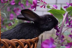 Cute little black rabbit sitting in a basket and eats spring flowers. Concept of the Easter. Holidays and Animals stock image