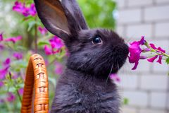 Cute little black rabbit sitting in a basket and eats spring flowers. Concept of the Easter stock image