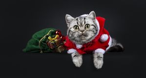 Cute little black silver blotched British Shorthair cat kitten. Laying down with green bag wearing santa suit, looking at camera with wide open eyes. Isolated stock image