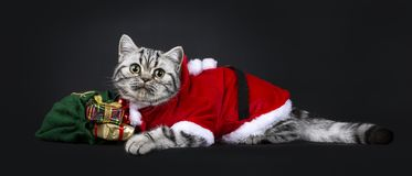 Cute little black silver blotched British Shorthair cat kitten. Laying down side ways with green bag wearing santa suit, looking at camera with wide open eyes royalty free stock photography
