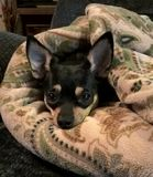 Black and Tan Chihuahua Snuggled in Her Throw. Cute little black and tan Chihuahua snuggled up in her favorite paisley throw royalty free stock photography